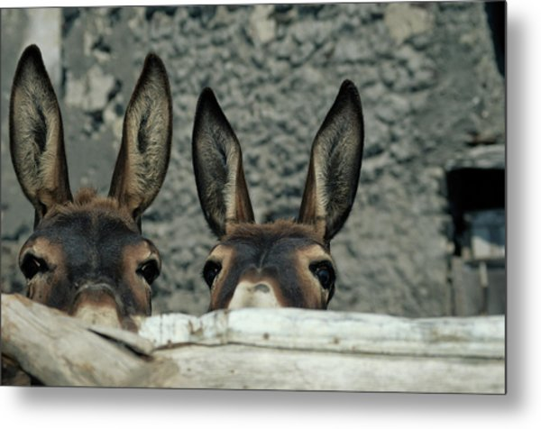 Two Donkeys Peering Over Fence, Close-up Metal Print