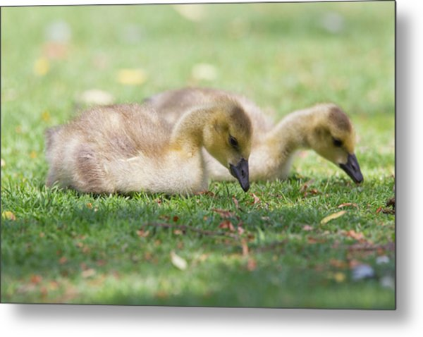 Two Goslings In Grass Metal Print by Susangaryphotography