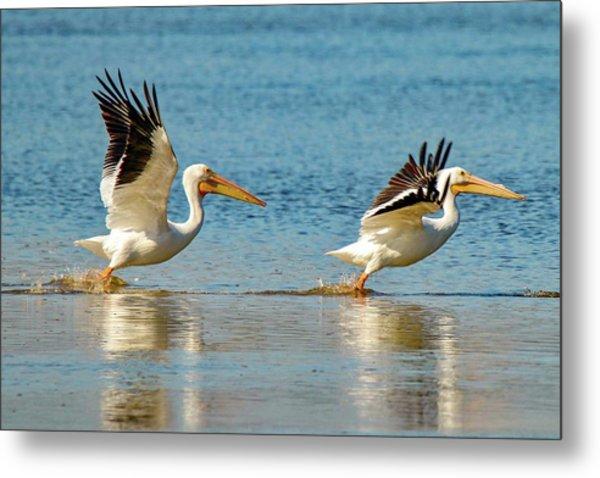 Two Pelicans Taking Off Metal Print