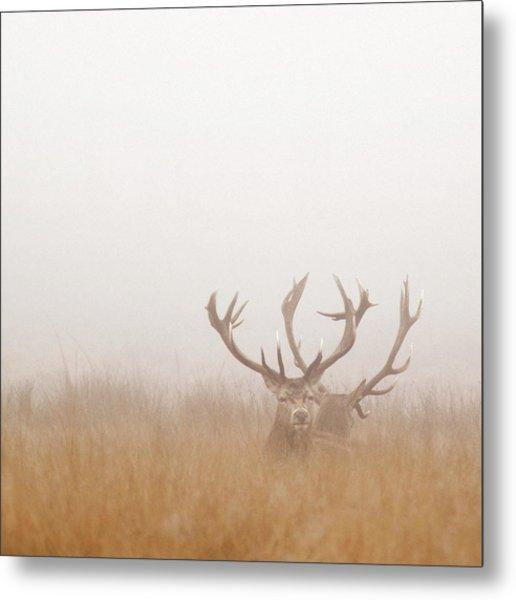 Two Stag Deer Resting In Field On Foggy Metal Print by Beholdingeye