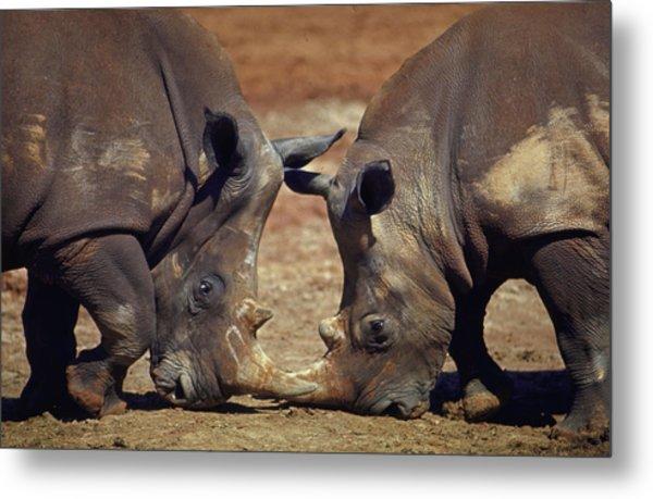 Two White Rhinocheros Fr. Zululand Metal Print by Nina Leen