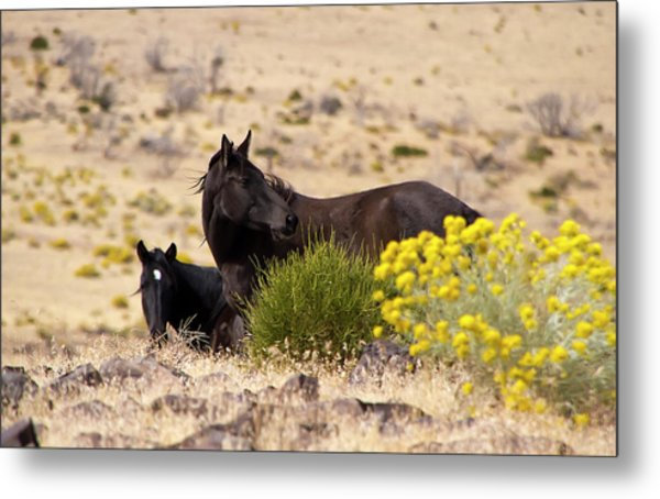 Two Wild Black Horses Among Yellow Flowers Metal Print