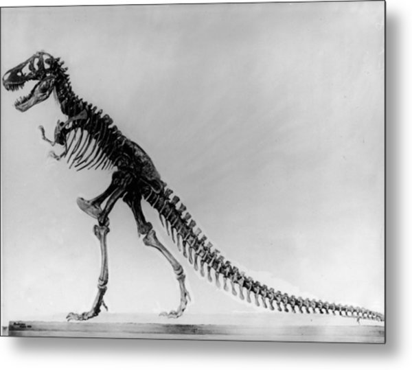 Tyranosaurus Skeleton Metal Print by Hulton Archive