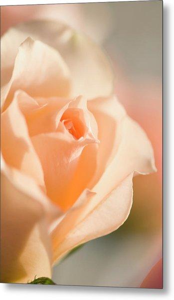 Unfolding Light Peach Rose Flower Metal Print