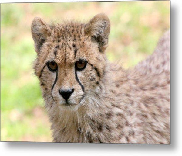Unwavering Cheetah Youngster Metal Print by Ger Bosma