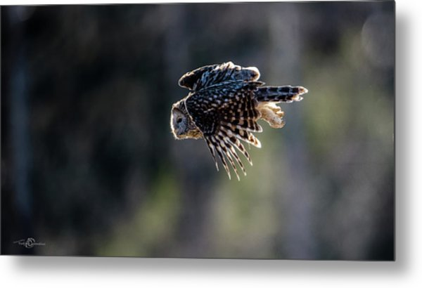 Ural Owl Flying Against The Light To Catch A Prey  Metal Print