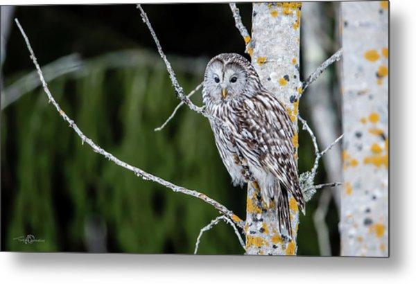 Ural Owl Perching On An Aspen Twig Metal Print