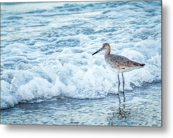 Usa, Florida A Willet, Tringa Metal Print by Margaret Gaines