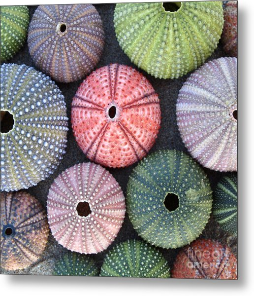 Variety Of Colorful Sea Urchins On Wet Metal Print