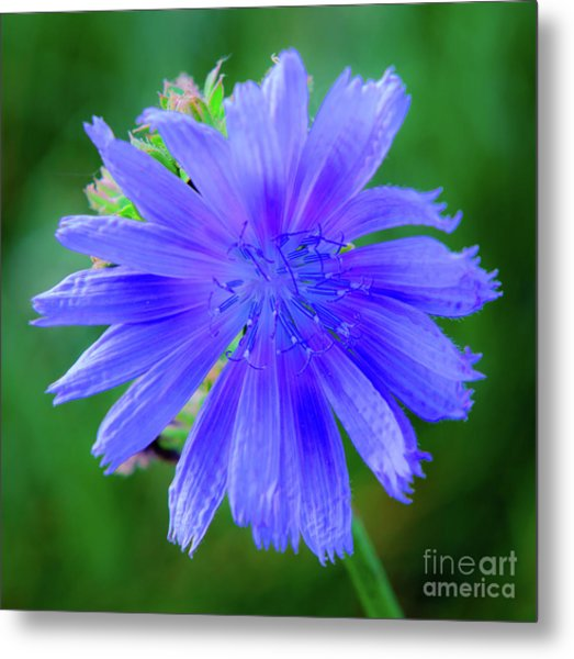 Vibrant Blue Chicory Blossom Close-up With Its Delicate Petals And Stamen Metal Print