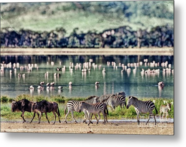 Vintage Style Image Of Zebras And Metal Print