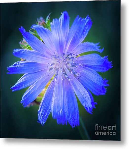 Vivid Blue Chicory Blossom Close-up With Its Delicate Petals And Stamen Metal Print