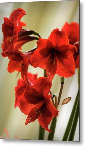 Vivid Red Amaryllis Bulb In Full Bloom Metal Print