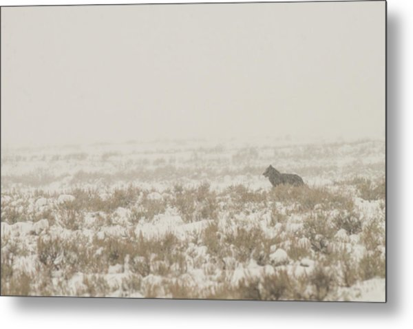Metal Print featuring the photograph W34 by Joshua Able's Wildlife