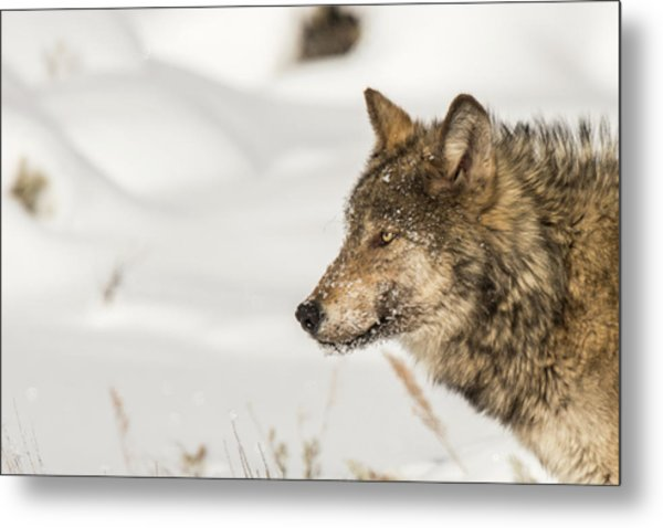 Metal Print featuring the photograph W37 by Joshua Able's Wildlife