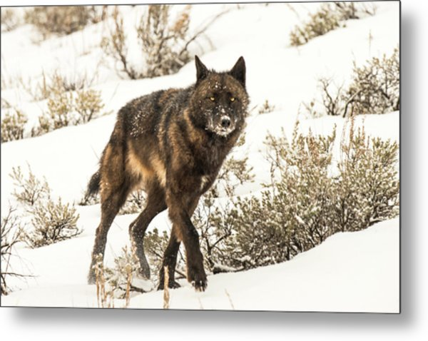 Metal Print featuring the photograph W38 by Joshua Able's Wildlife