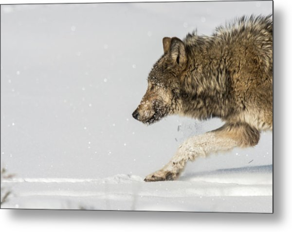 Metal Print featuring the photograph W40 by Joshua Able's Wildlife
