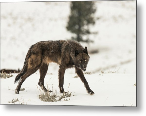 Metal Print featuring the photograph W42 by Joshua Able's Wildlife
