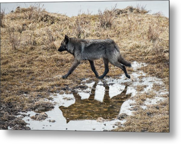 Metal Print featuring the photograph W60 by Joshua Able's Wildlife
