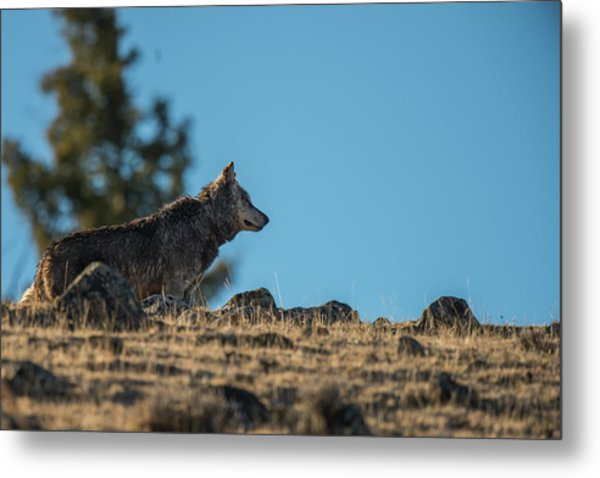Metal Print featuring the photograph W61 by Joshua Able's Wildlife