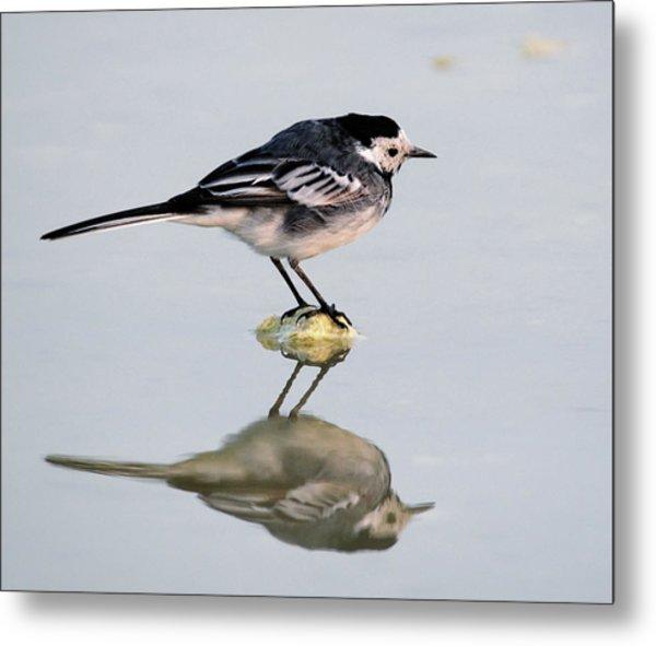 Wagtail Bird Looking Itself On Lake Metal Print