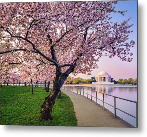 Washington Dc Cherry Trees, Footpath Metal Print by Dszc