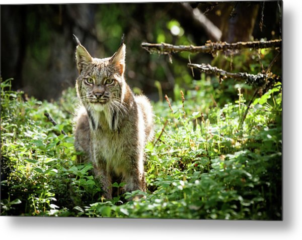 Metal Print featuring the photograph Watchful Mama Lynx by Tim Newton