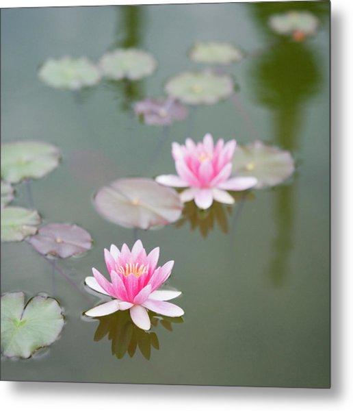 Water Lily, Isola Bella Island Metal Print