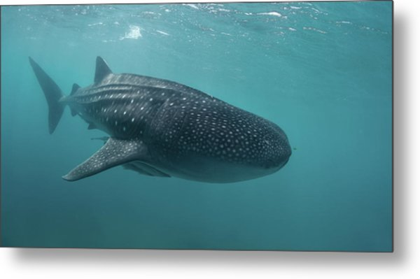 Whale Shark Metal Print by Nature, Underwater And Art Photos. Www.narchuk.com