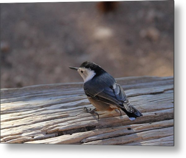 White Breasted Nuthatch Metal Print