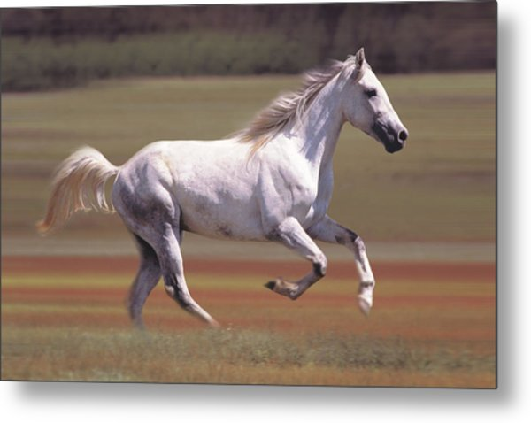 White Horse Running In Field Metal Print by Comstock