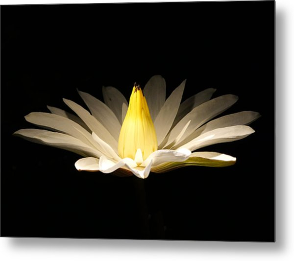 White Lily At Night Metal Print