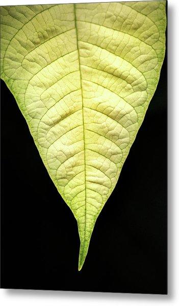 White Poinsettia Leaf Metal Print