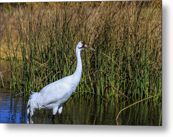 Whooping Crane In Pond Metal Print
