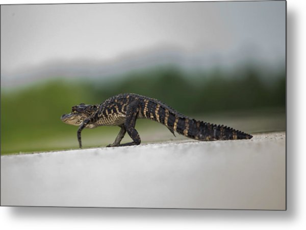 Why Did The Gator Cross The Road? Metal Print
