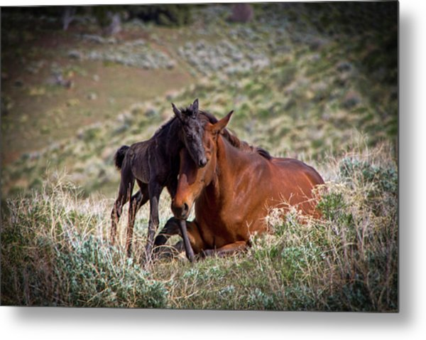 Wild Black New Born Foal And Mare Metal Print