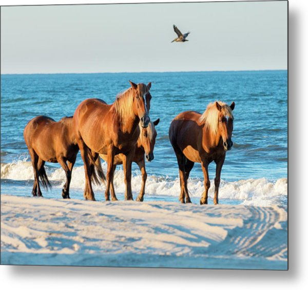 Wild Colonial Spanish Mustangs Of Carova Metal Print