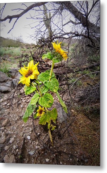 Wild Desert Sunflower Metal Print