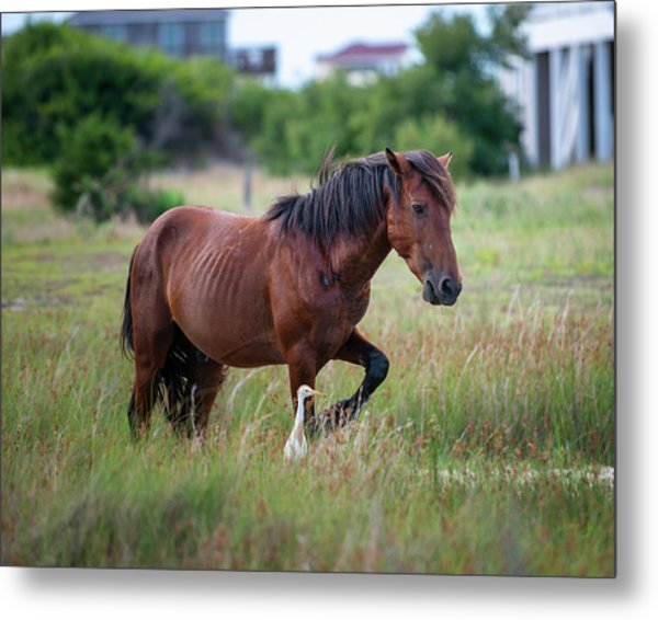 Wild Horse Cattle Egret Metal Print