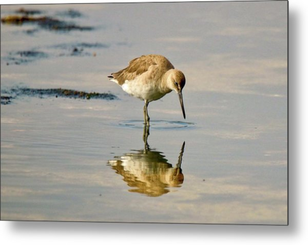Willet Sees Its Reflection Metal Print