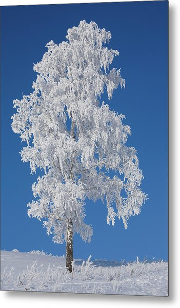 Winter Birch Tree Metal Print