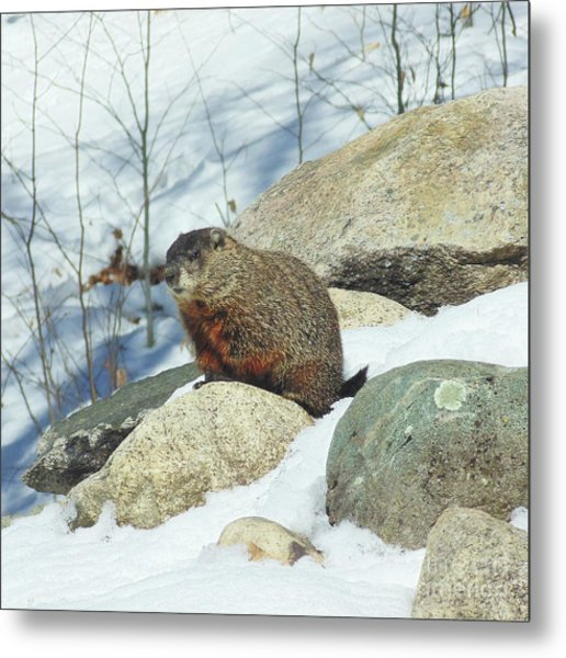 Winter Groundhog Metal Print