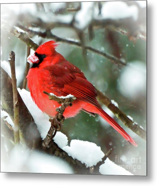Winter Red Bird - Male Northern Cardinal With A Snow Beak Metal Print