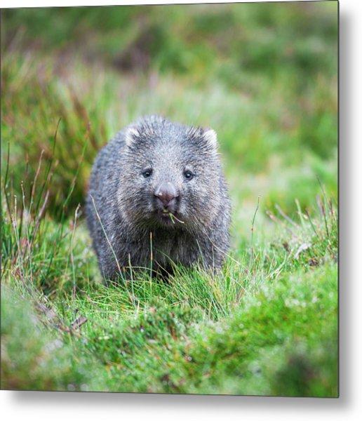 Wombat Metal Print