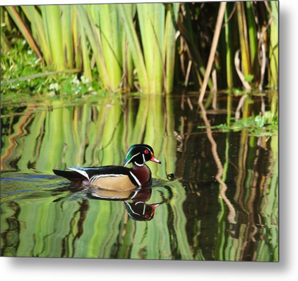 Wood Duck Reflection 1 Metal Print