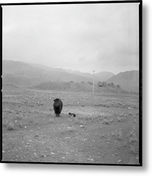 Yak In Grassland Metal Print by Oliver Rockwell