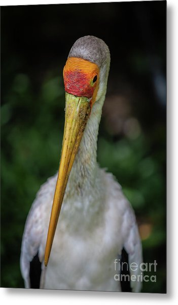 Yellow Billed Storks Metal Print