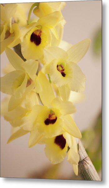 Yellow Dendrobium Nobile In Full Bloom Metal Print