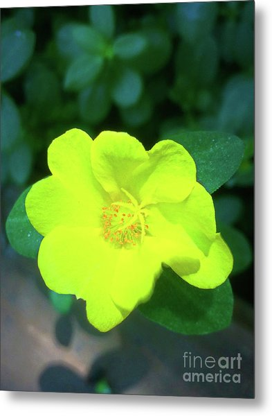 Yellow Hypericum - St Johns Wort Metal Print