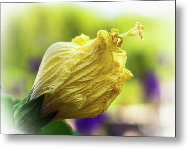 Yellow Mature Hibiscus  Metal Print